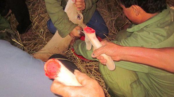 Kỹ thuật cắt nhung hươu, cắt nhung hươu có đau không