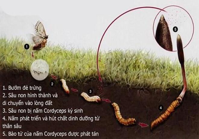 Quá trình sinh trưởng của đông trùng hạ thảo